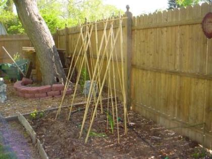 new bamboo supports for the beans and peas